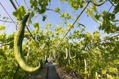 Κλείστε επάνω την ανάπτυξη κολοκυθών Luffa ή κολοκυθών φιδιών στο αγρόκτημα γεωργίας εγκαταστάσεων τομέων Στοκ Φωτογραφίες