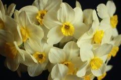 Κλείστε επάνω την ανθοδέσμη των daffodils στο μαύρο υπόβαθρο Στοκ Φωτογραφία