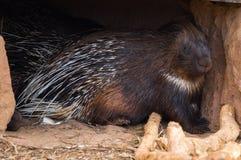 Κλείστε επάνω την εικόνα μεγάλο ακανθωτό porcupine Στοκ φωτογραφία με δικαίωμα ελεύθερης χρήσης