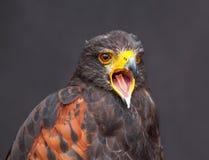 Κλείστε επάνω την εικόνα ο νέος χρυσός αετός Στοκ Φωτογραφία