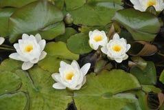 κλείστε επάνω την εικόνα των waterlilies Στοκ Εικόνες