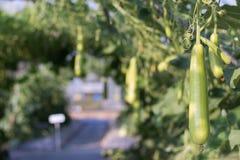 Κλείστε επάνω την κολοκύθα Luffa ή την ανάπτυξη Luffa Cylindrica στο αγρόκτημα γεωργίας εγκαταστάσεων τομέων Στοκ Εικόνες