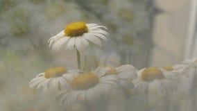 Κλείστε επάνω την πανοραμική σκηνή με camomile τα λουλούδια σε σε αργή κίνηση Ρηχό DOF Όμορφη ιριδίζουσα φυσική ελαφριά επίδραση απόθεμα βίντεο