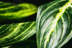 Κλείστε επάνω την περίληψη των φύλλων stripey ενός εσωτερικού φυτού στοκ εικόνα