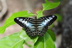 Κλείστε επάνω την πεταλούδα (κουρευτής ζώων) στο πράσινο φύλλο Στοκ Φωτογραφία
