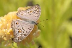 Κλείστε επάνω την πεταλούδα στο κίτρινο λουλούδι Στοκ Εικόνα