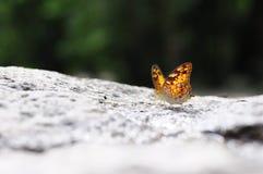 Κλείστε επάνω την πεταλούδα (το vagrant) στο έδαφος Στοκ Φωτογραφίες