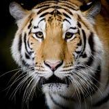 Κλείστε επάνω την τίγρη Στοκ εικόνα με δικαίωμα ελεύθερης χρήσης