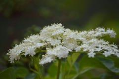 Κλείστε επάνω της άσπρης συστάδας λουλουδιών Στοκ φωτογραφίες με δικαίωμα ελεύθερης χρήσης