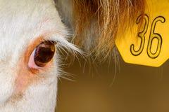 Κλείστε επάνω της αγελάδας Hereford με την ετικέττα αυτιών Στοκ εικόνα με δικαίωμα ελεύθερης χρήσης