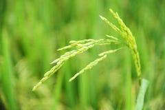 Κλείστε επάνω της ακίδας ρυζιού που απομονώνεται με το υπόβαθρο θαμπάδων στοκ εικόνα με δικαίωμα ελεύθερης χρήσης
