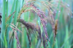 Κλείστε επάνω της ακίδας ρυζιού που απομονώνεται με το υπόβαθρο θαμπάδων στοκ φωτογραφία με δικαίωμα ελεύθερης χρήσης