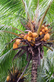 Κλείστε επάνω της κίτρινης καρύδας δεσμών στο δέντρο στοκ εικόνες