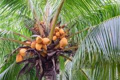 Κλείστε επάνω της κίτρινης καρύδας δεσμών στο δέντρο στοκ φωτογραφία με δικαίωμα ελεύθερης χρήσης