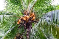 Κλείστε επάνω της κίτρινης καρύδας δεσμών στο δέντρο στοκ εικόνα