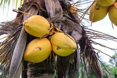 Κλείστε επάνω της κίτρινης καρύδας δεσμών στο δέντρο στοκ φωτογραφίες με δικαίωμα ελεύθερης χρήσης
