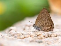 Κλείστε επάνω της κοινής βλεφαριδωτής μπλε τροφής πεταλούδων με το βράχο Στοκ εικόνες με δικαίωμα ελεύθερης χρήσης