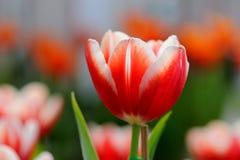 Κλείστε επάνω της κόκκινος-άσπρης τουλίπας Στοκ Εικόνα
