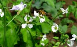 Κλείστε επάνω της μέλισσας μελιού σε μια άνθιση 2 ραδικιών Στοκ Εικόνα