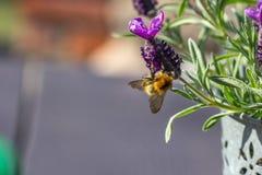 Κλείστε επάνω της μέλισσας στην άνθιση λουλουδιών στοκ εικόνα