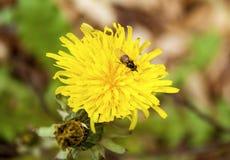 Κλείστε επάνω της μύγας στην πικραλίδα Στοκ εικόνα με δικαίωμα ελεύθερης χρήσης