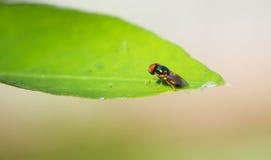 Κλείστε επάνω της μύγας στο φύλλο Στοκ φωτογραφία με δικαίωμα ελεύθερης χρήσης
