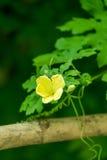Κλείστε επάνω της πικρής πράσινης θαμπάδας αγροτικών κήπων κολοκυθών στο υπόβαθρο Στοκ φωτογραφία με δικαίωμα ελεύθερης χρήσης