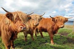 Κλείστε επάνω της σκωτσέζικης αγελάδας ορεινών περιοχών στον τομέα Στοκ Εικόνες