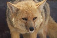 Κλείστε επάνω της στάσης της αλεπούς Στοκ φωτογραφία με δικαίωμα ελεύθερης χρήσης