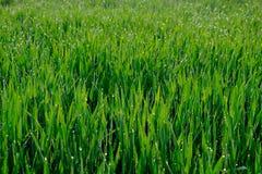 Κλείστε επάνω της φρέσκιας παχιάς χλόης με τις πτώσεις νερού στα ξημερώματα, πράσινο υπόβαθρο Στοκ εικόνα με δικαίωμα ελεύθερης χρήσης