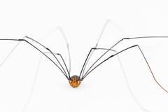 Κλείστε επάνω της harvestman «αράχνης» Στοκ Φωτογραφίες