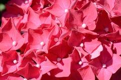 Κλείστε επάνω τη λεπτομέρεια ενός ζωηρόχρωμου ρόδινου hydrangea Στοκ Εικόνες