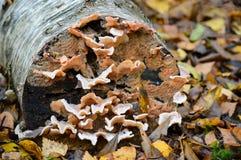 Κλείστε επάνω τη λεπτομέρεια φύσης του μύκητα στο κούτσουρο Στοκ Εικόνα