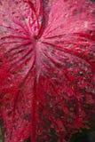 Κλείστε επάνω τη λεπτομέρεια φύλλων της βασίλισσας των leafty φυτών ή του Caladium ι Στοκ Φωτογραφίες