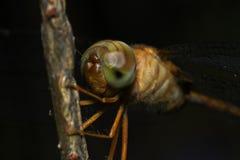 Κλείστε επάνω τη λιβελλούλη Anisoptera ματιών Στοκ εικόνες με δικαίωμα ελεύθερης χρήσης