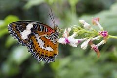 Κλείστε επάνω τη μαύρη πορτοκαλιά και άσπρη πεταλούδα Στοκ Φωτογραφία