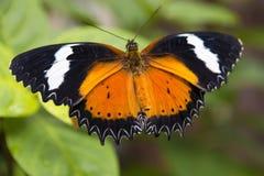 Κλείστε επάνω τη μαύρη πορτοκαλιά και άσπρη πεταλούδα Στοκ φωτογραφία με δικαίωμα ελεύθερης χρήσης
