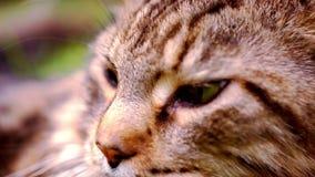 Κλείστε επάνω τη μαύρη τιγρέ γάτα του Μαίην Coon με το πράσινο μάτι απόθεμα βίντεο