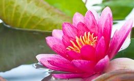 Κλείστε επάνω τη ρόδινη άνθιση λουλουδιών λωτού Στοκ Εικόνες