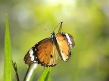 Κλείστε επάνω τη σαφή πεταλούδα τιγρών Στοκ φωτογραφία με δικαίωμα ελεύθερης χρήσης