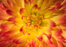 Κλείστε επάνω τη φωτογραφία ενός κεφαλιού λουλουδιών Στοκ Εικόνες