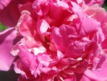 Κλείστε επάνω τη φωτογραφία του φωτεινού ρόδινου peony λουλουδιού Στοκ Φωτογραφία