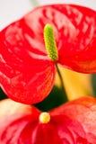 Κλείστε επάνω τη φωτογραφία Anthurium των λουλουδιών Στοκ Φωτογραφίες