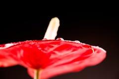 Κλείστε επάνω τη φωτογραφία Anthurium των λουλουδιών Στοκ Εικόνες