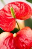 Κλείστε επάνω τη φωτογραφία Anthurium των λουλουδιών Στοκ εικόνα με δικαίωμα ελεύθερης χρήσης