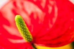 Κλείστε επάνω τη φωτογραφία Anthurium των λουλουδιών Στοκ Εικόνα
