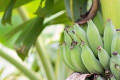 Κλείστε επάνω τις πράσινες ακατέργαστες μπανάνες Νέα πράσινη μπανάνα στο δέντρο Στοκ φωτογραφίες με δικαίωμα ελεύθερης χρήσης