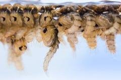 Χρυσαλίδες κουνουπιών στοκ εικόνα