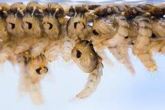 Χρυσαλίδες κουνουπιών στοκ εικόνες με δικαίωμα ελεύθερης χρήσης