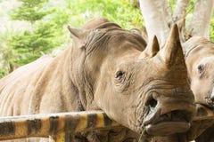 Κλείστε επάνω τον άσπρο ρινόκερο Στοκ εικόνες με δικαίωμα ελεύθερης χρήσης